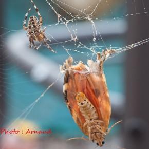 Une proie imposante pour l'Épeire diadème, ici Euplagia quadripunctaria, l'Écaille chinée, prise dans la toile. Merci Arnaud pour cette photo prise dans le Morbihan.