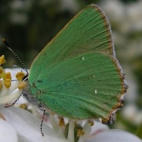 Callophrys rubi (Linné 1758) – L'Argus vert