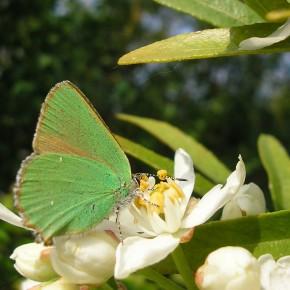L'Argus vert apprécie le nectar des fleurs d'Oranger du Mexique.
