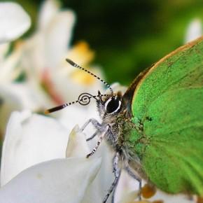 Callophrys rubi et son oeil typiquement bordé de blanc.