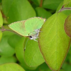 L'Argus vert mérite bien son nom, tenue de camouflage parfaite.