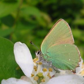 Malgré les ailes fermées, on aperçoit le brun-sombre du dessus des ailes de Callophrys rubi.