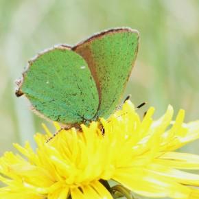 Quand je vous dis que l'Argus vert est gourmand, ici le nez dans l'assiette.