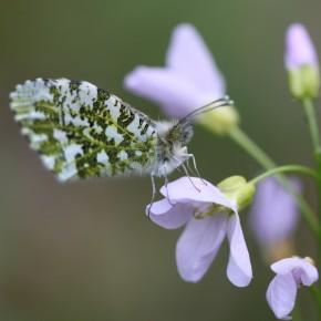 Une femelle se repose après la ponte ou cherche une nouvelle fleur pour déposer  un oeuf. le 14 avril 2012.
