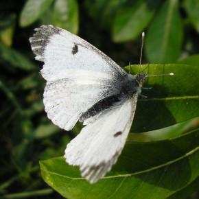 Une femelle aux ailes usées par l'âge.