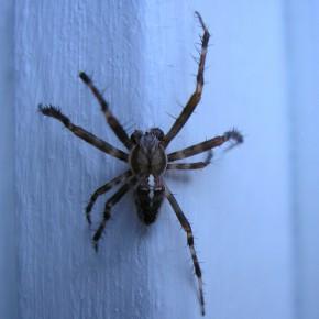 Araneus diadematus mâle, plus petit que la femelle, 8 mm pour lui, 18 mm pour elle, sans les pattes.