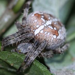 Une femelle avec un abdomen de 13 mm de diamètre à la ferme de Vizy chez David à Férolles. Le 29 septembre 2012. Peut-être sur le point de pondre?