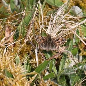Carcharodus alceae (Esper 1780) - L'Hespérie de l'alcée
