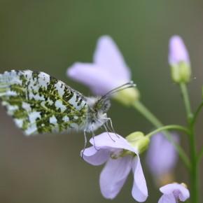 La Cardamine des prés, plante hôte de l'Aurore, ici une femelle.