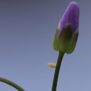 Bouton floral sous lequel on aperçoit un oeuf d'Aurore fraîchement pondu.