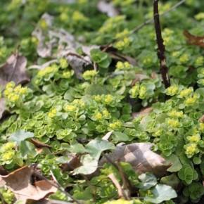 La Dorine à feuilles opposées recouvre le tapis de feuilles en poussant  au mois de mars.