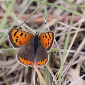 Lycaena phlaeas en forêt d'Orléans malgré le temps gris le 22 avril 2012.