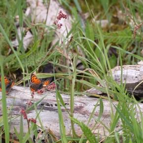 Au soleil sur un bois mort, un trio de Cuivré commun du plus bel effet. Le 4 mai 2012.
