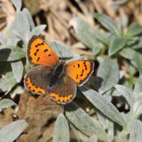 Profitant de la douceur, ce beau Cuivré commun a visité le jardin le 9 novembre 2015.