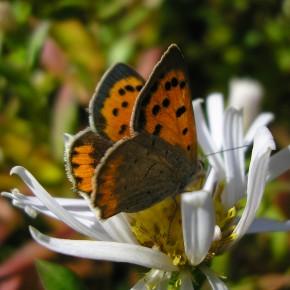 Lycaena phlaeas a le dessous des ailes postérieures gris-beige.
