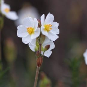 Les fleurs regroupées au sommet de la tige ont donné son nom à cette Hélianthème : en ombelle.