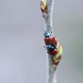 La Chrysomèle du peuplier, comme tout être vivant, a le souci de la survie de l'espèce.