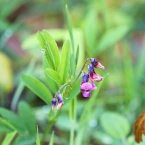 Grappe florale de Gesse des montagnes.