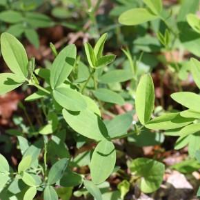 Les feuilles de Lathyrus linifolius composées de folioles terminées par une pointe.