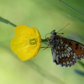 Remontée d'un cran sur une fleur de bouton d'or, elle est belle.