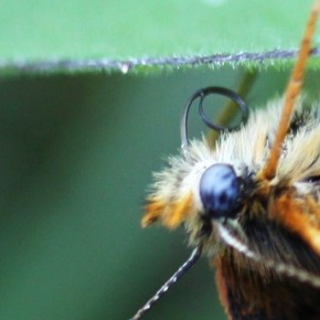 Et le dessous des palpes orange déterminant Melitaea parthenoides. D'autres Mélitées ont le même caractère mais elles volent dans le sud.