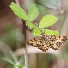 La Phalène picotée sur du charme, on voit la frange bicolore des ailes.