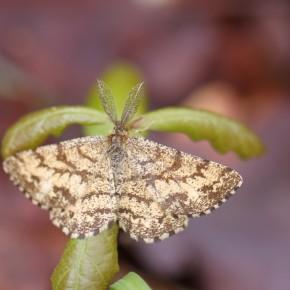 Les jeunes feuilles de chêne font une fausse paire d'antennes à Ematurga atomaria..