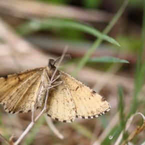 Le dessous des ailes, moins marqué de noir de ce mâle d'Ematurga atomaria.