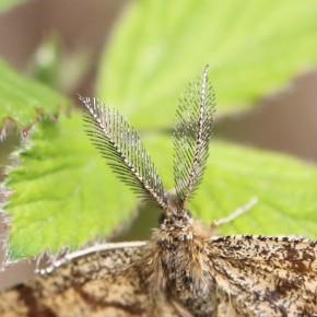 Les mâles de la Phalène picotée ont de superbes antennes bipectinées.