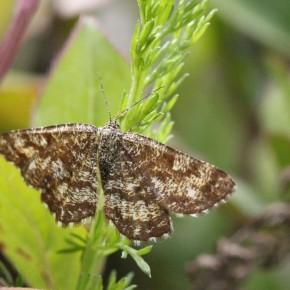 Une femelle avec ses antennes filiformes, le 17 juillet 2012 à Les Bordes.
