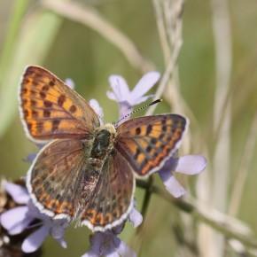 Une femelle du Cuivré fuligineux aux ailes antérieures orangées.