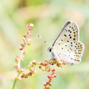 Le revers des ailes d'un beau mâle Cuivré fuligineux sur sa plante hôte. Un rendez-vous peut-être ?