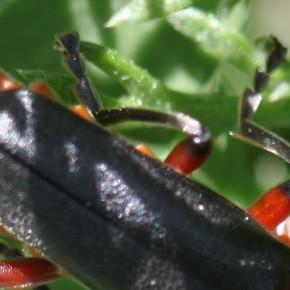 Cantharis rustica a les pattes noires avec des zones rouges caractéristiques sur les fémurs.