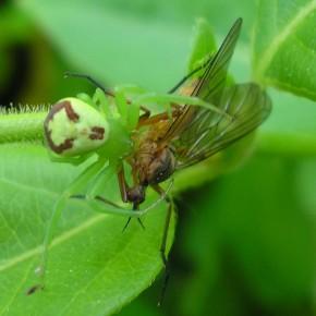 Ebrechtella tricuspidata n'hésite pas devant les proies imposantes par la taille.