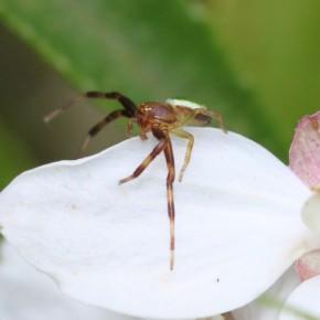 Ici un mâle d'Ebrechtella tricuspidata dont l'aspect est bien différent de celui de la femelle.