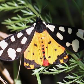 Les couleurs du dessus des ailes de l'Ecaille fermière sont très contrastées.