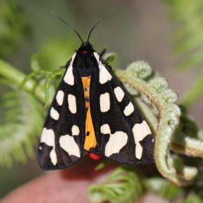 Les taches blanches peuvent prendre de multiples formes et même fusionner chez l'Arctia villica.