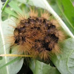 La chenille est noire avec des touffes de soies brunes, les stigmates sont blancs.La tête, les pattes et les fausses pattes sont rouge-brun.