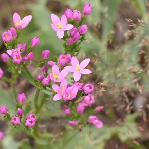 Centaurium erythraea (Rafn, 1800) – L'Erythrée petite-centaurée