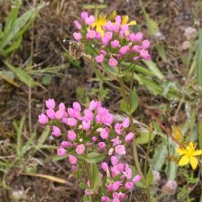 Les fleurs en fausses ombelles sont en cymes bipares, opposées deux à deux, ce qui fait que les plus fraîches sont toujours au centre.