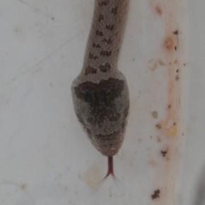 Découverte d'une jeune Coronelle lisse sous une tôle dans le jardin le 14 septembre 2016. La langue des serpents ne présentent pas de danger, c'est un organe sensoriel.