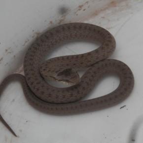 La Coronelle lisse se love comme tous les serpents, une manière de garder leur chaleur. 40 cm de long pour cette demoiselle, elle est repartie sans se presser.