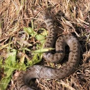 Coronella austriaca ne bouge qu'au dernier moment espérant passer inaperçue. Adepte de la chasse active, elle n'est pas agressive pour l'homme.