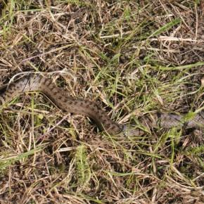 La Coronelle lisse est un serpent fin et long de 70 cm. La couleur de son ventre peut varier mais est toujours unie, noir normalement.