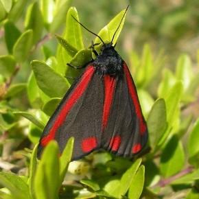 Tyria jacobaeae, la Goutte de sang, l'écaille du séneçon.