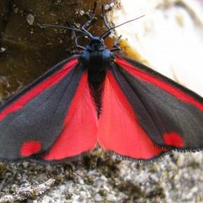 Symphonie rouge et noir pour le dessus des ailes du Tyria jacobaeae.