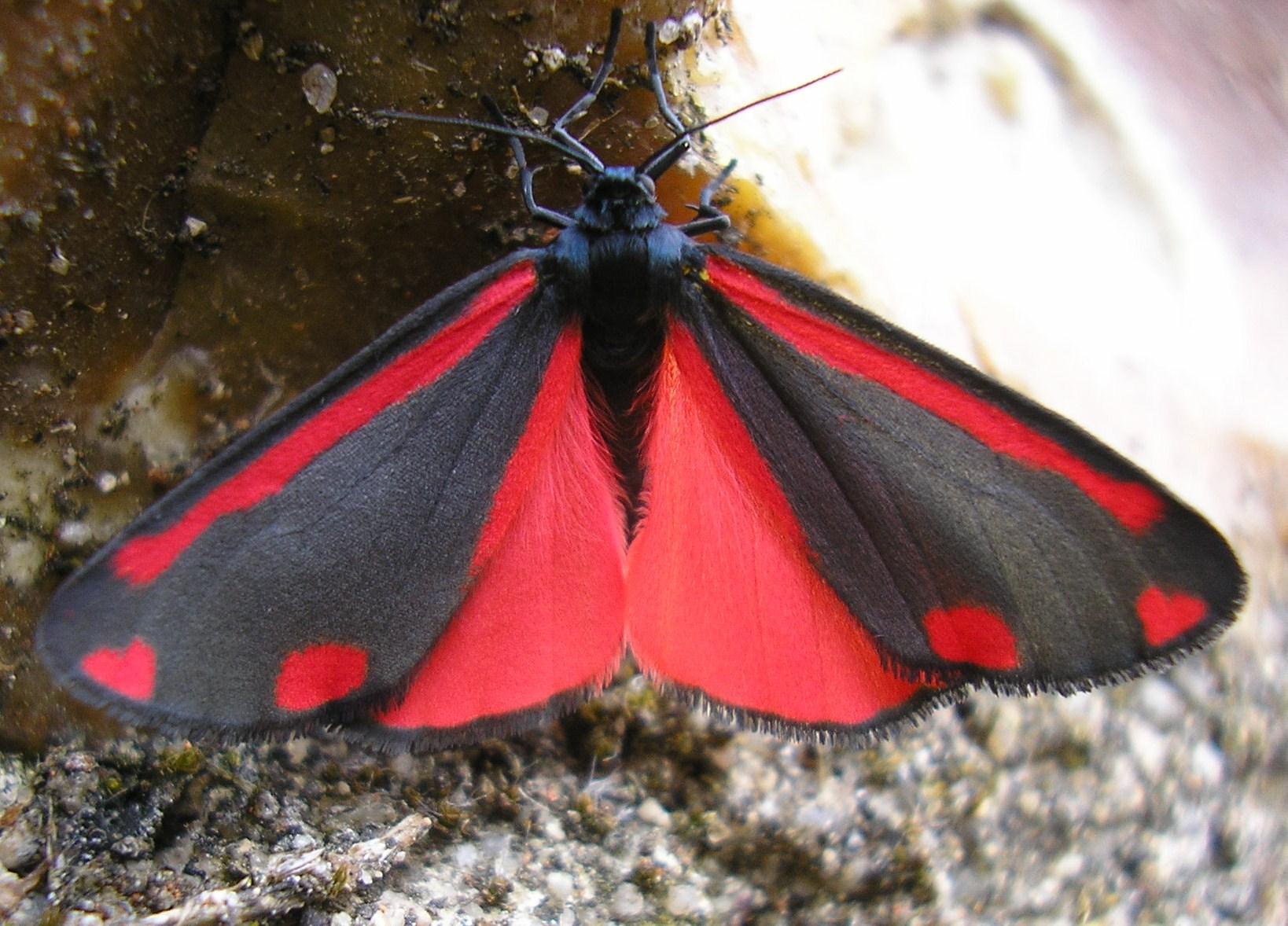 tyria jacobaeae linn 1758 la goutte de sang papillons papillons de nuit for t d 39 orl ans. Black Bedroom Furniture Sets. Home Design Ideas