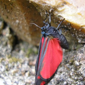 La Goutte de sang au corps entièrement noir et le dessous de l'aile postérieure rouge bordée de noir rappelle la famille des Zygènes.