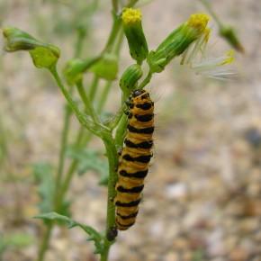 La chenille de Tyria jacobaeae sur un Séneçon commun, typiquement aposématique de type vespoïde pour éloigner les prédateurs.