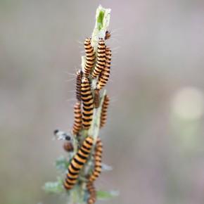 Quelques fois la nourriture ne suffit pas, alors on se regroupe, d'où l'observation d'un équilibre entre la plante hôte et la chenille de type bisannuel.